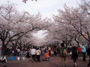 hanami di bawah teduhan sakura