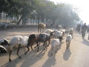 kambing masuk kota...mbekk~